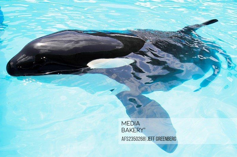 Florida, Miami, Key Biscayne, Miami Seaquarium, Lolita, orca, killer whale, captive,