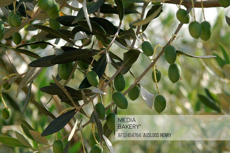 10854061, Olive Tree, Olea europaea, olive trees,