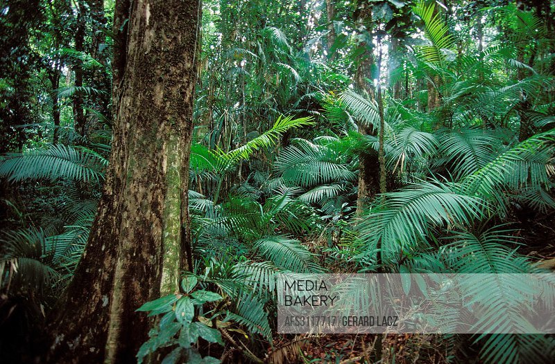 Tropical Forest with Luxuriant Vegetation, Australia.