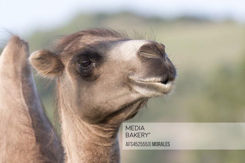 China, Inner Mongolia, Hebei Province, Zhangjiakou, Bashang Grassland, Bactrian camel (Camelus bactrianus).