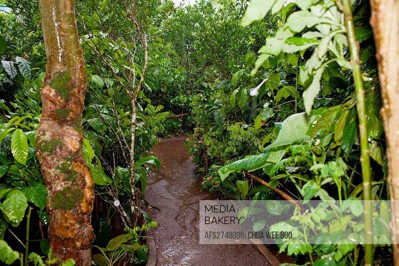 Coffee plantation at Bedugul, Bali