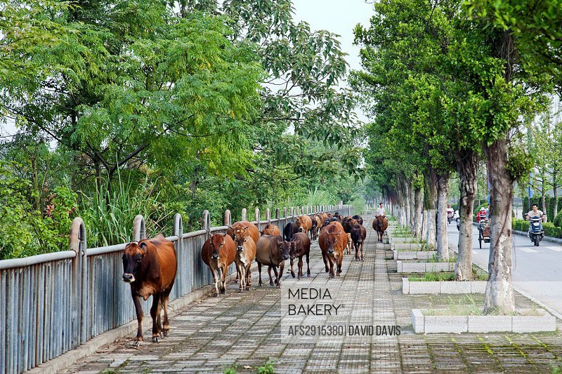 Cattle being herded down the sidewalk in GuiLin China by a local framer