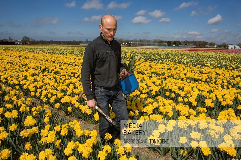 cultivation of daffodils in Holland.