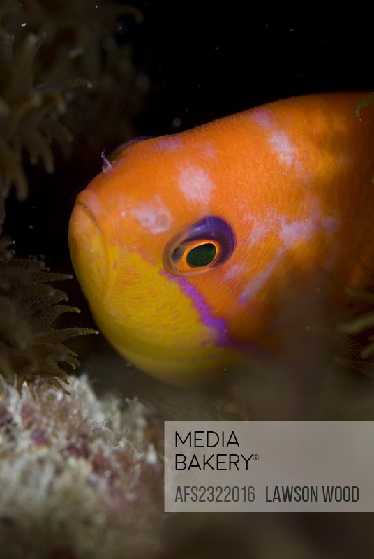 Lyretale Anthias Pseudanthias squamipinnis, female hiding in rocky cleft but with veru clear view of head and brilliant orange coloration, Red Sea