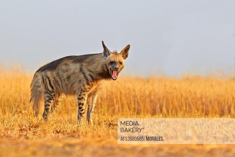 Striped hyena Hyaena hyaena.
