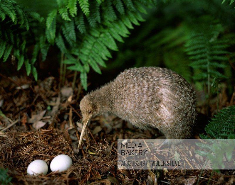 Animal, Anticipation, Anxious, Bird, Careful, Eggs, Ferns, Flightless, Future, Holiday, Kiwi, Landmark, Nest, New zealand, Plant