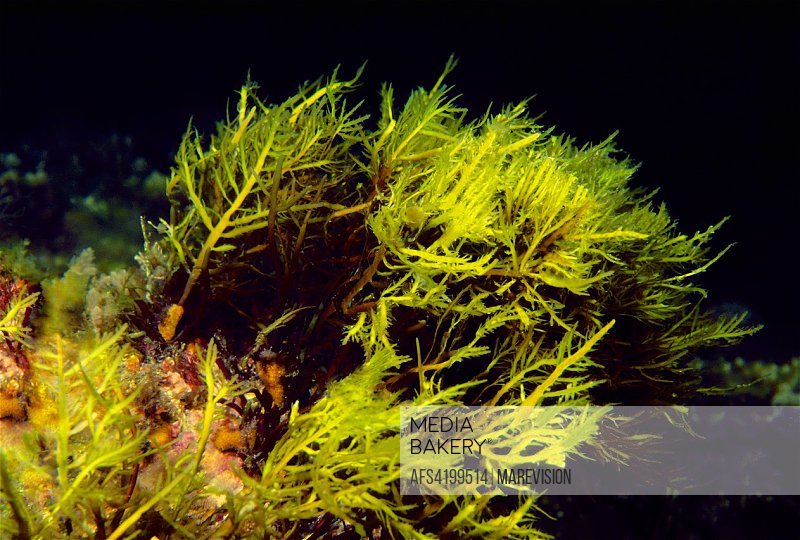 Mediabakery - Photo by Age Fotostock - Red seaweed to