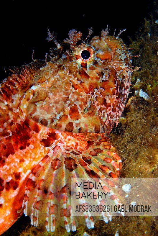 Large-scaled scorpionfish trusting in it´s nocturnal camouflage. Scorpaena scrofa.