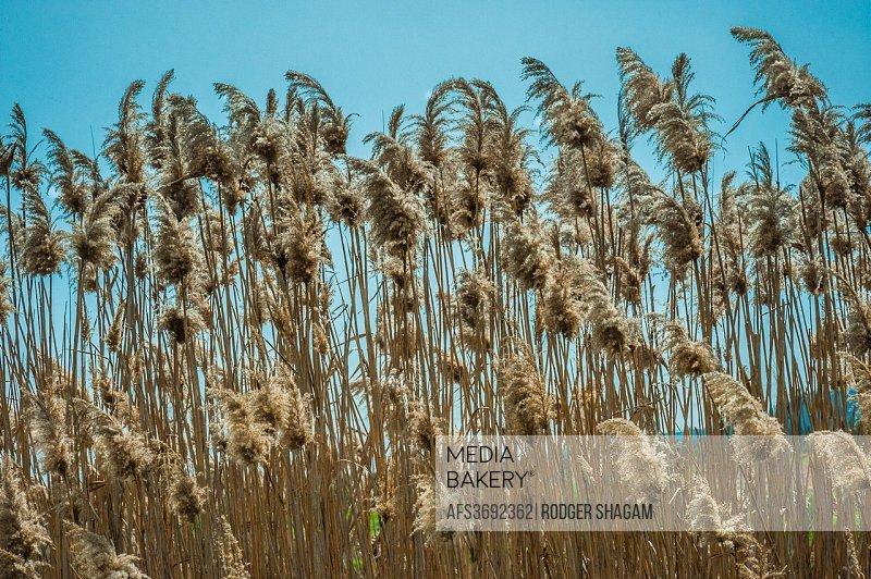 Pampas grass.