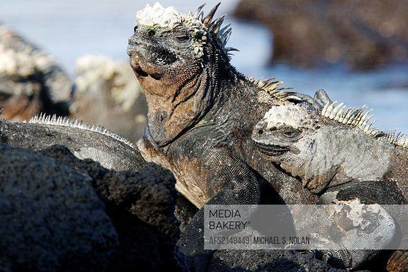 The endemic marine iguana Amblyrhynchus cristatus in the Galapagos Island Group, Ecuador  This is the only marine iguana in the world, with many of th...
