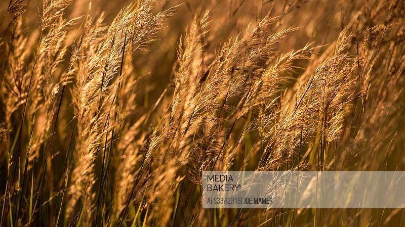 Autumn grasses in late afternoon light.