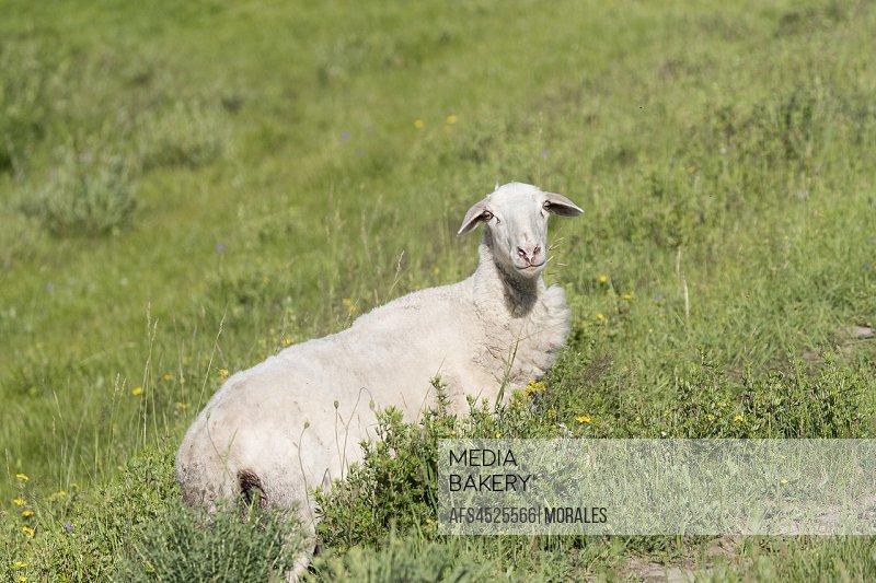 China, Inner Mongolia, Hebei Province, Zhangjiakou, Bashang Grassland, Sheep, adult female.