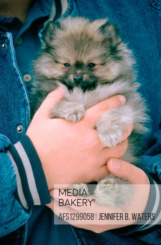 A Pomeranian puppy in a man´s hands