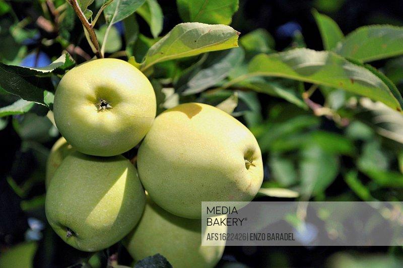 Granny Smith apples near Bibione