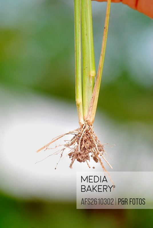 Fibrous root system of rice