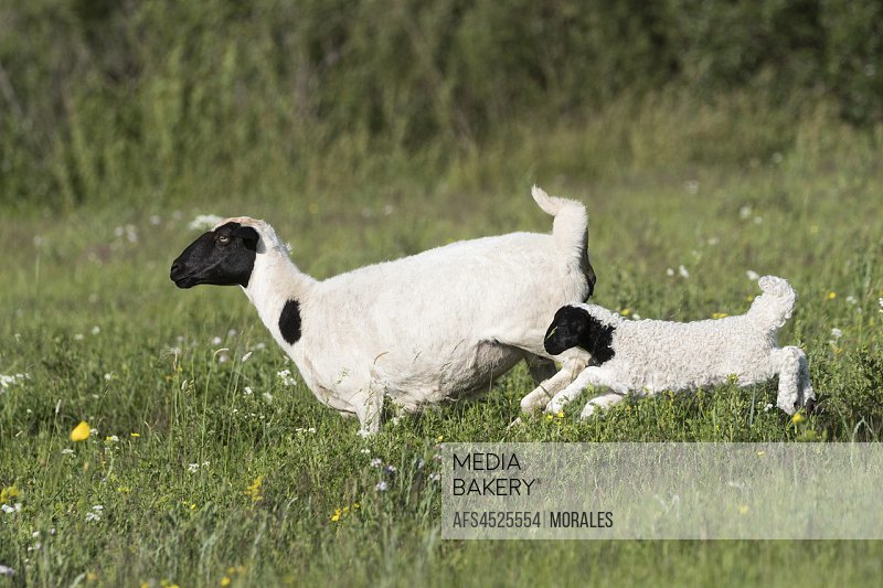 China, Inner Mongolia, Hebei Province, Zhangjiakou, Bashang Grassland, Sheep, adult with young, Mother and baby just born.