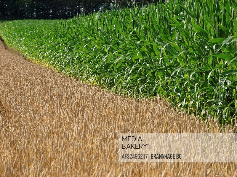 green, maize, maize, corn, May, agriculture, canton Zurich, Switzerland, wheat field