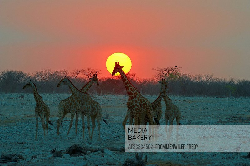 Africa, Etosha, Giraffa camelopardalis, Namibia, Okaukuejo, sundown, water hole, animal,