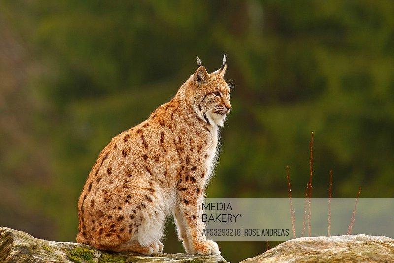 European, fauna, Feloidea, catlike, land vertebrate, lynx, lynxes, lynx lynx, Mammalia, nature, predator, mammal