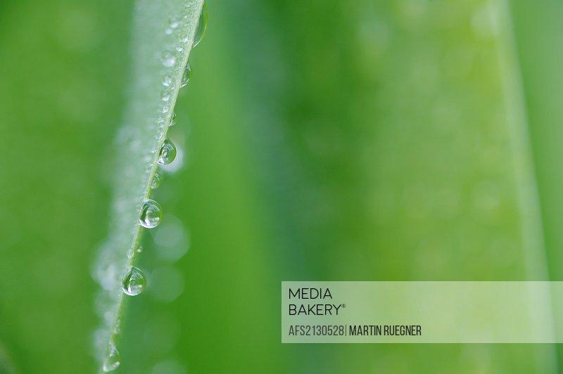 Waterdrops on leaf, close up  Bavaria, Germany, Europe