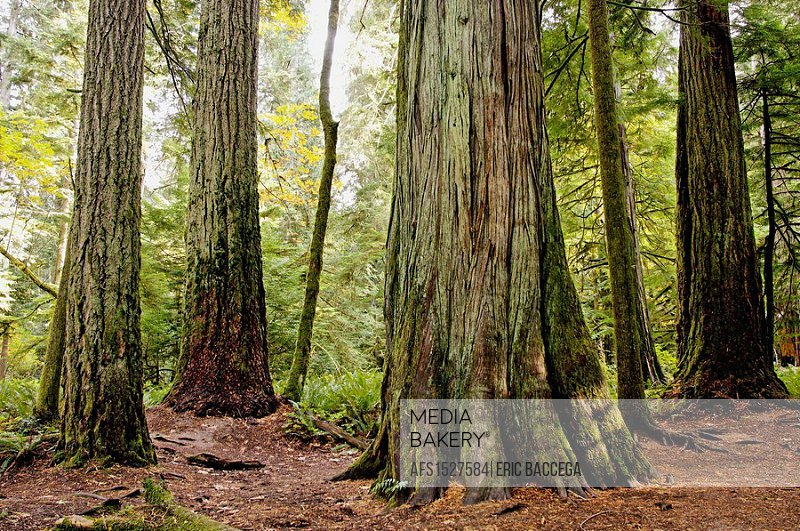 Giant Douglas fir (Pseudotsuga menziesii), Cathedral grove forest, temperate rainforest, Vancouver Island, British Columbia, Canada