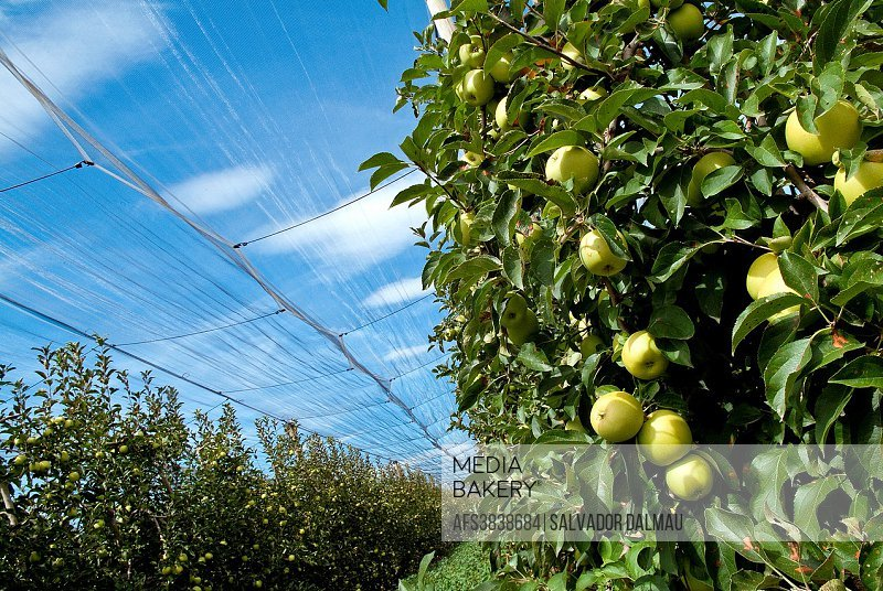 agriculture of apples,golden apple category,solar lighting,location girona,catalonia,spain,europe,.