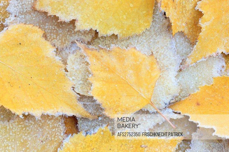 Detail, birch, birches, birch sheet, birch sheets, nature, hoarfrost