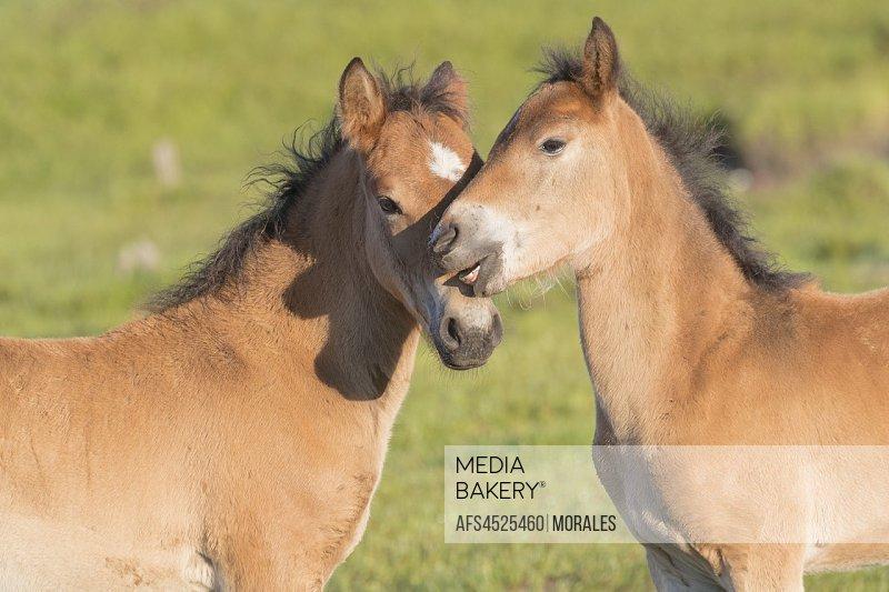 China, Inner Mongolia, Hebei Province, Zhangjiakou, Bashang Grassland, two foal.
