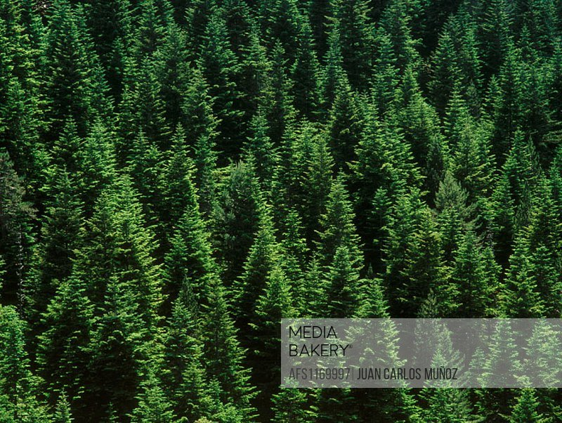 Silver Firs (Abies alba)