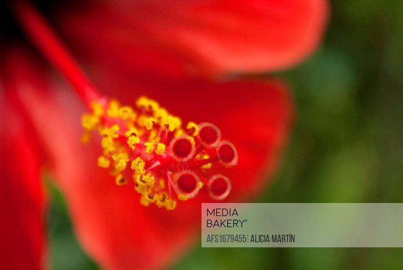 Mediabakery Photo By Age Fotostock Hibiscus Stigma Flower