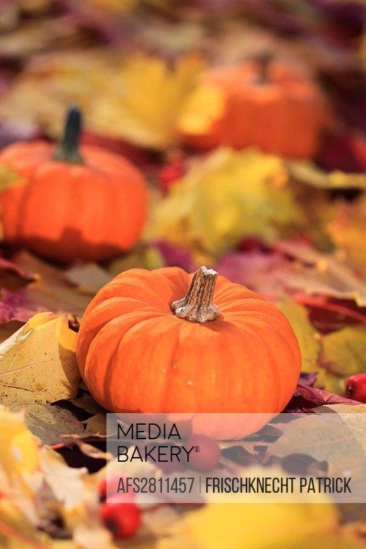 Maple, leaf, leaves, detail, autumn, autumn color, autumn colors, autumn foliage, colouring, pumpkin, foliage, foliage tree, macro, close_up, Switzerl...