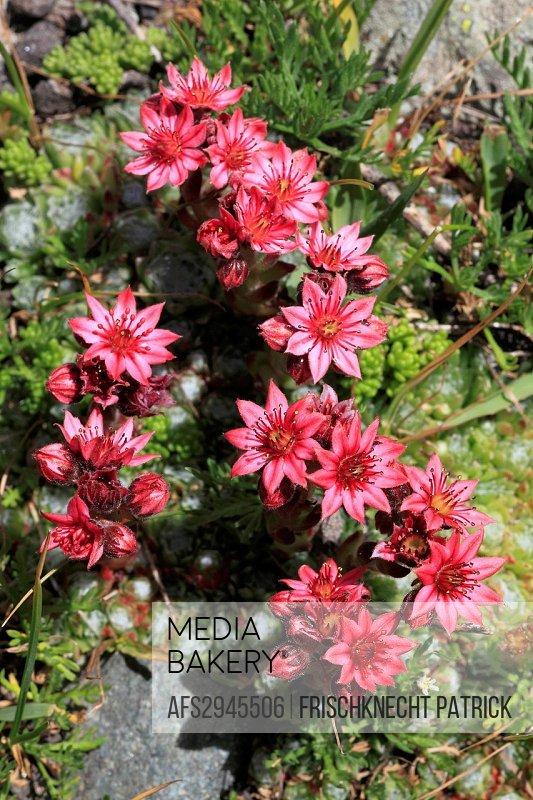 Alps, Alpine flora, mountain flora, flower, flowers, blossom, flourish, detail, flora, mountains, houseleek, live_forever, macro, close_up, Switzerlan...