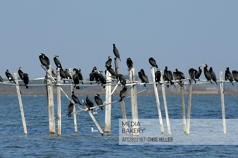 Colony of Cormorants Perched on Stakes in Lake Camargue Provence France