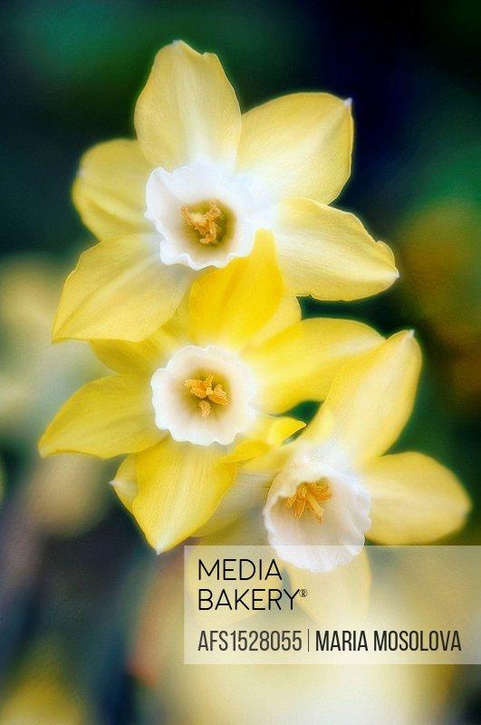 Yellow Daffodil Trio. Narcissus hybrid. April 2007, Maryland, USA