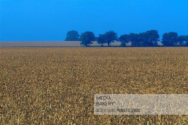 field, wheat field, grain field, grain, USA, America, North America, Texas, McKinney