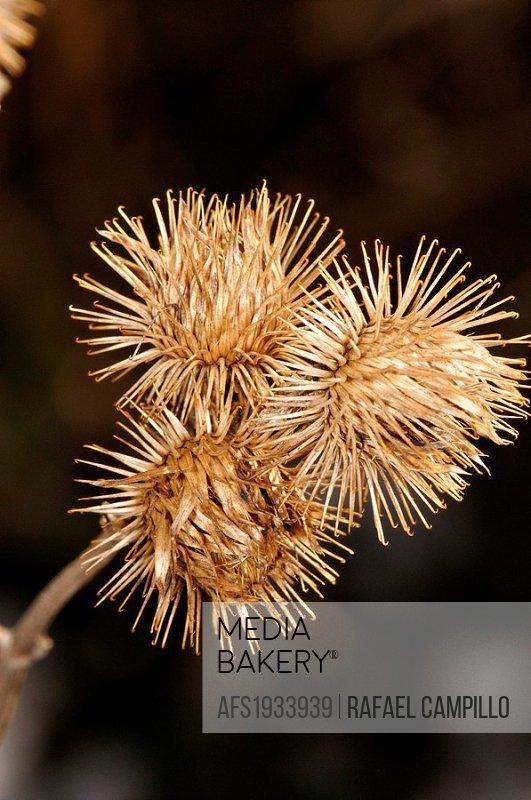 Dried plant (fam. Compositae). Osseja, Languedoc-Roussillon, Pyrénées-Orientales, France