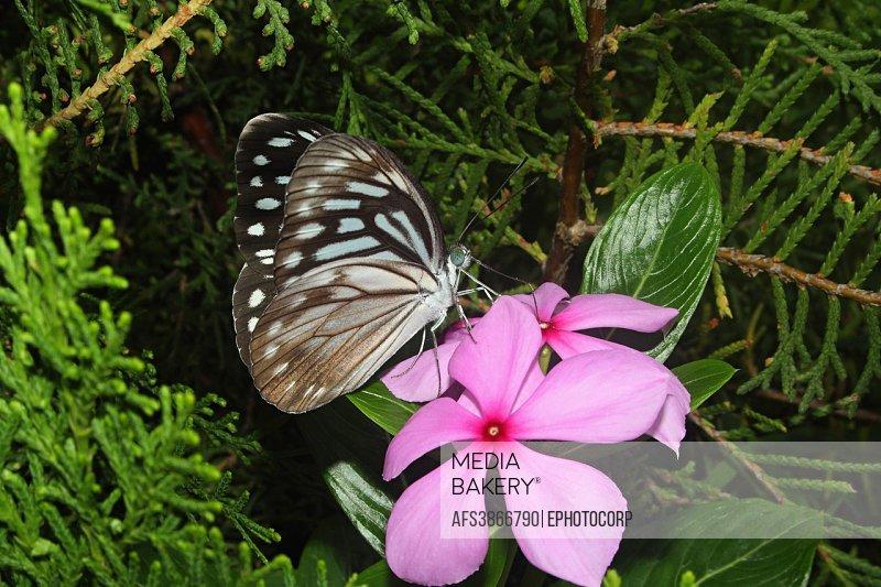 Name: Common Wanderer on periwinkle Location: Aarey Milk Colony, Mumbai Maharashtra.