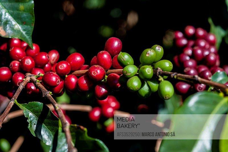 Brazilian Coffee plantation at Araxá - Minas Gerais.