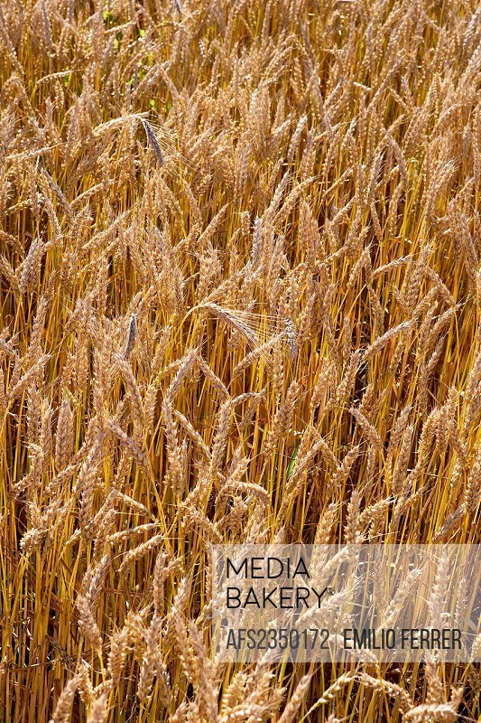 Field of wheat  LLeida, Spain