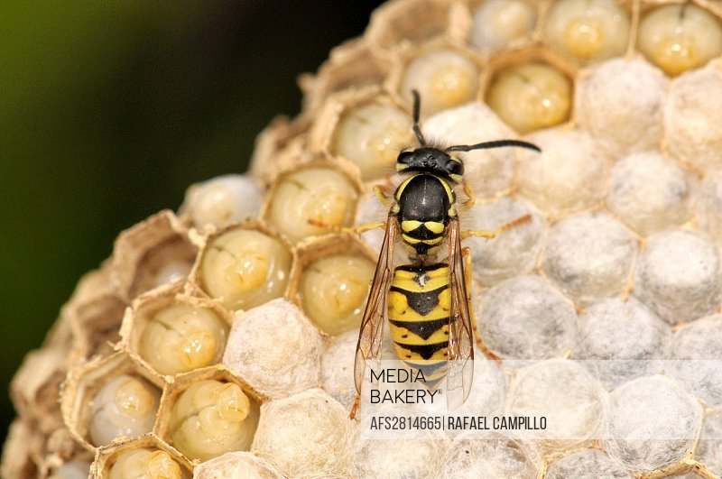 Insect  Social wasp  Vespula vulgaris  Order Hymenoptera  Fam  Vespidae  Osseja  Languedoc Roussillon  Pyrénées Orientales  France