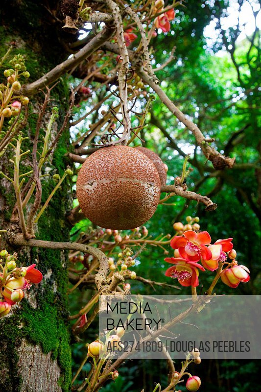 Cannonball tree, Senator Fong´s Plantation Garden