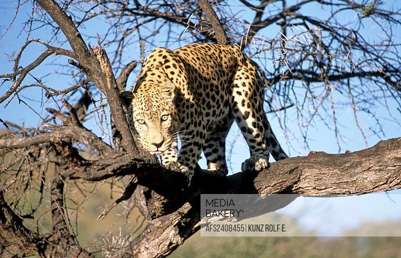 Africa, Namibia, big cat, leopard, spotted cat, on tree