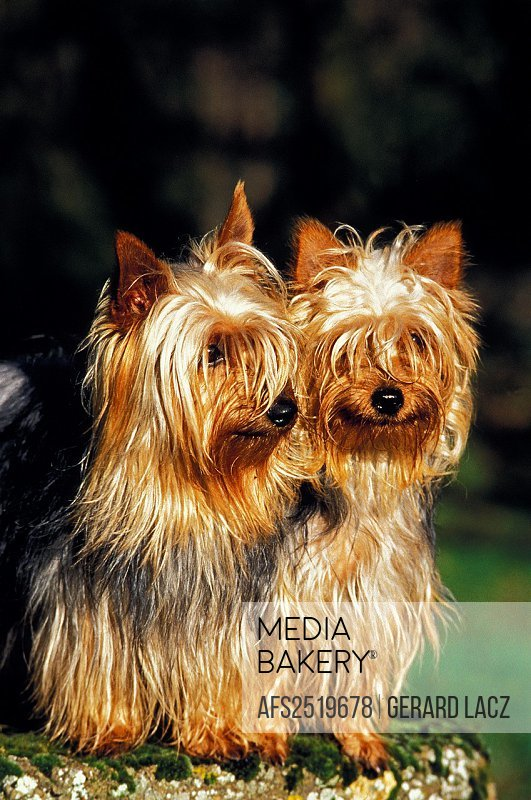 SILKY TERRIER, PAIR OF ADULTS