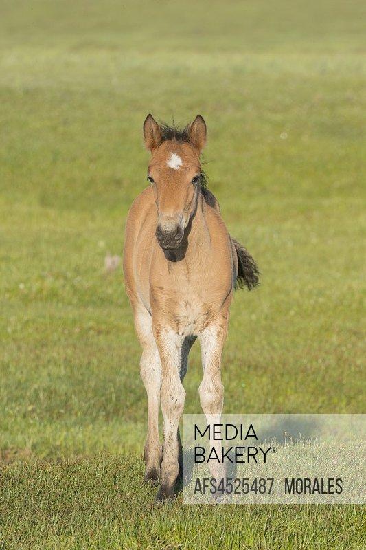 China, Inner Mongolia, Hebei Province, Zhangjiakou, Bashang Grassland, one foal.