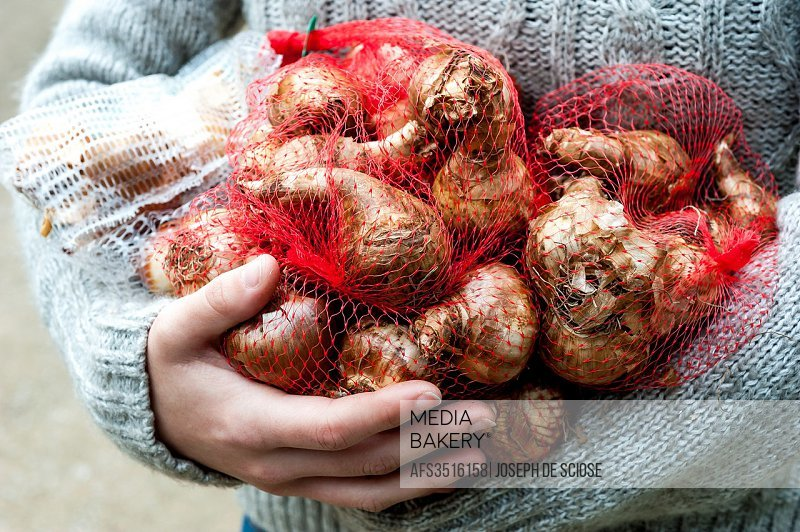 A partial view of a woman holding a bunch of tulip bulbs in a garden.