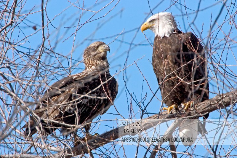 Bald Eagle parent with Juvenile, Klamath Falls, California, USA