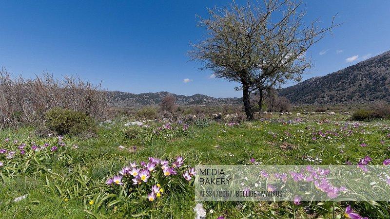 Baker's tulip, tree, flora, spring, spring flora, Greece, Europe, plateau, plateau, Crete, scenery, landscape, Levka Ori, Tulipa bakeri, tulip, vegeta...