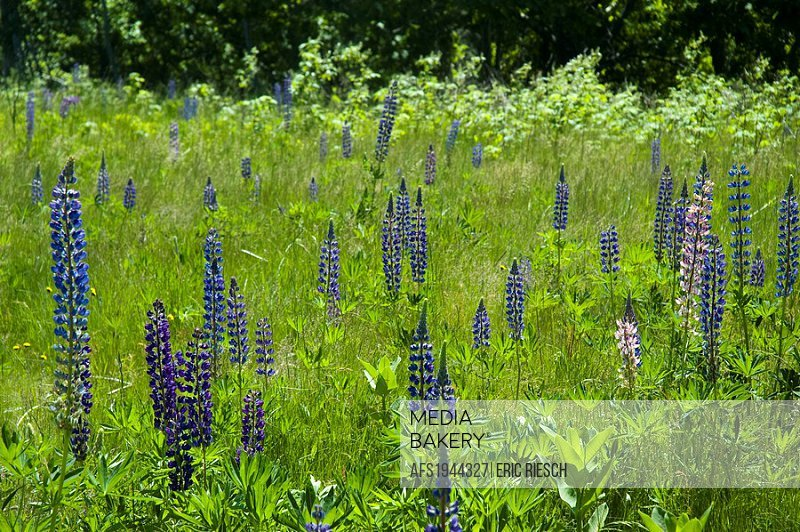 Wild Lupine in Bar Harbor, Maine