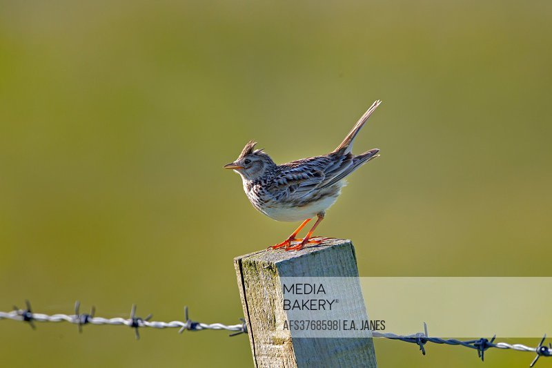 Skylark Alauda arvensison fence post in machair grassland North Uist Hebrides.