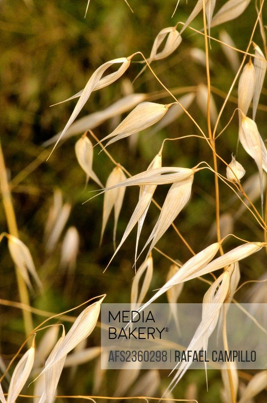 Avena fatua, wild Oat, species of grass in the Oat genus. Torrelles de Llobregat, Barcelona, Catalonia, Spain
